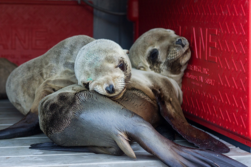Sea Lion Pups Sleeping