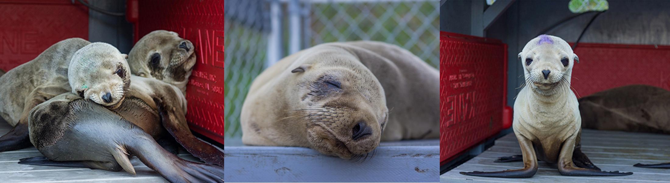 Sea Lion Rehabilitation