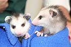 Opossum Sponsorship